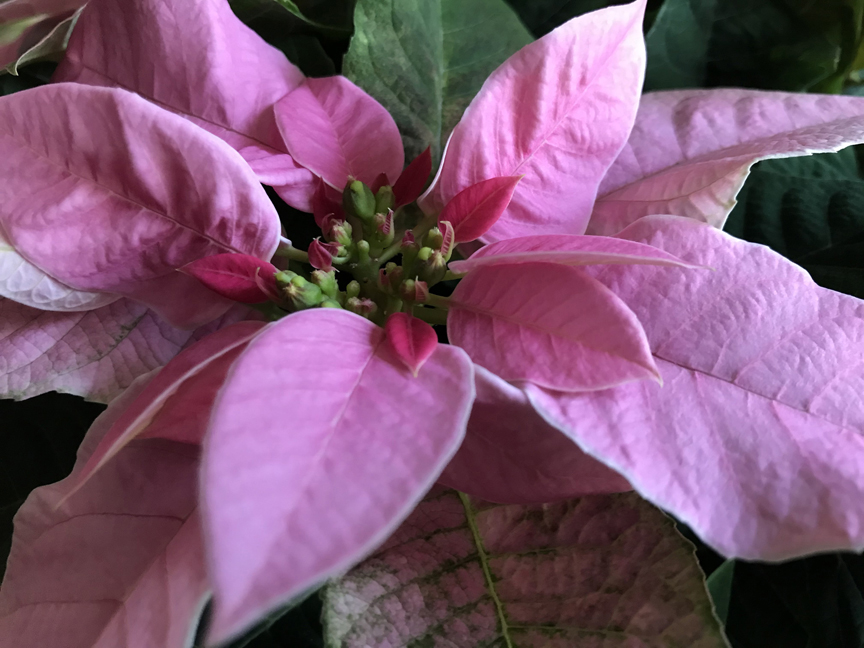 'Princettia' is a hybrid poinsettia that grows well indoors on the windowsill. This one has pretty pink bracts.