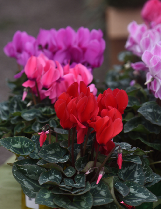 Cyclamen go dormant at some point, but can be brought back after a couple of months.