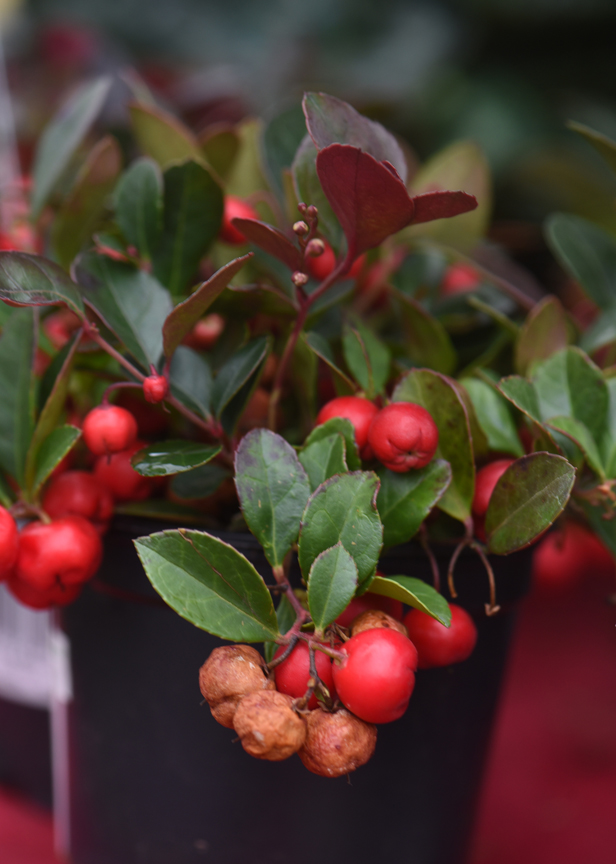 Gaultheria or wintergreen is a unique holiday plant.