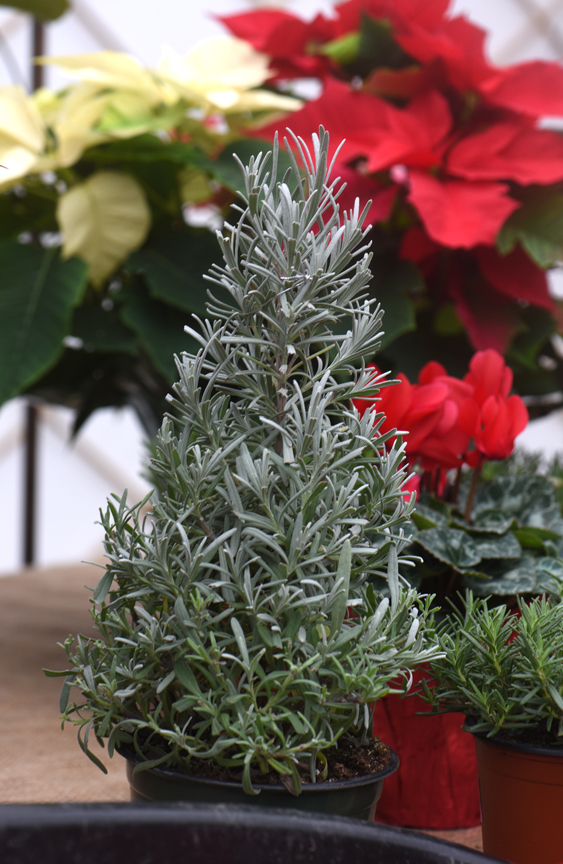 Lavender or rosemary can be pruned to look like a Christmas tree.