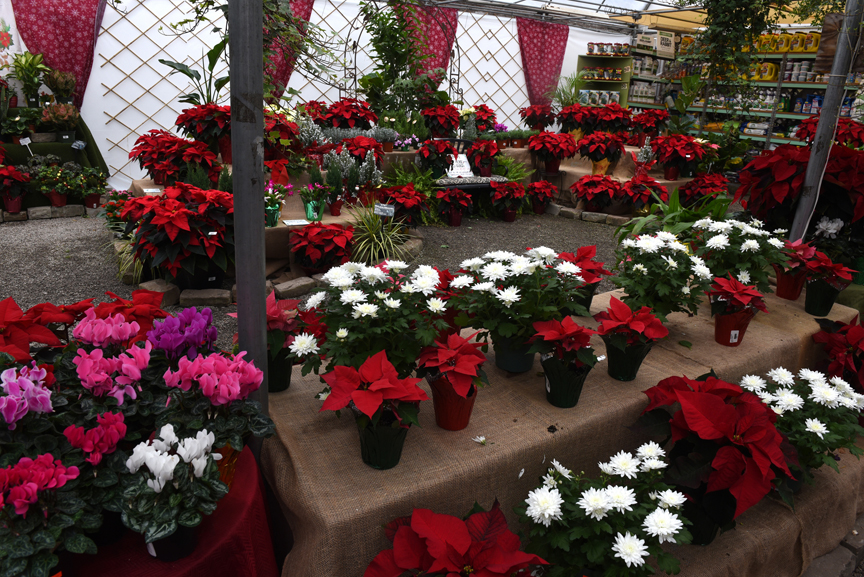 Hahn Nursery in Ross is filled with holiday plants.