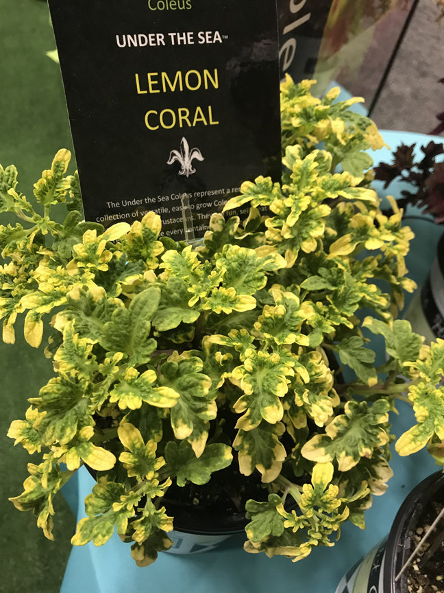 Dennis James of DJ's Greenhouse in Transfer, Pa. has fallen under the spell of the Under the Sea collection of coleus. 'Lemon Coral' is one of the new varieties that was on display at Cultivate '19 in Columbus, Oh.