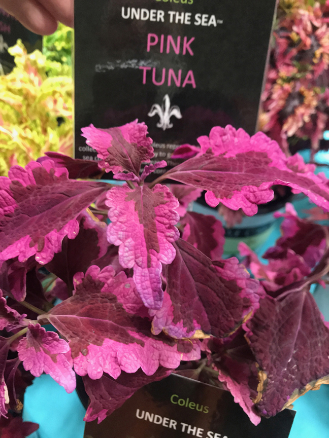 Dennis James of DJ's Greenhouse in Transfer, Pa. has fallen under the spell of the Under the Sea collection of coleus. 'Pink Tuna' is one of the new varieties that was on display at Cultivate '19 in Columbus, Oh.