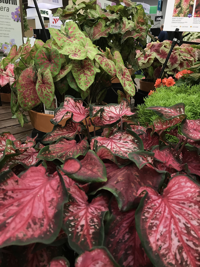 Russ Bedner, owner of Bedner's Farm and Greenhouse in McDonald, Pa. is impressed with ÔHeart to HeartÕ caladiums. Some of the cultivars can take sun. They were on display at Cultivate '19 in Columbus, Oh.