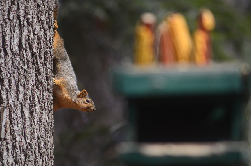 There are many ways to keep squirrels off the bird feeder. Baffles and other physical barriers work along with seed laced with hot pepper, like Hot Meats from Cole's Wild Bird Seed. Give them their own place to feed.