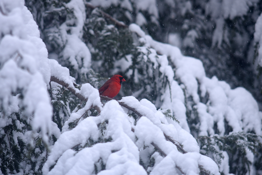 This beautiful cardinal waits on a hemlock tree for a chance to get to the bird feeder.