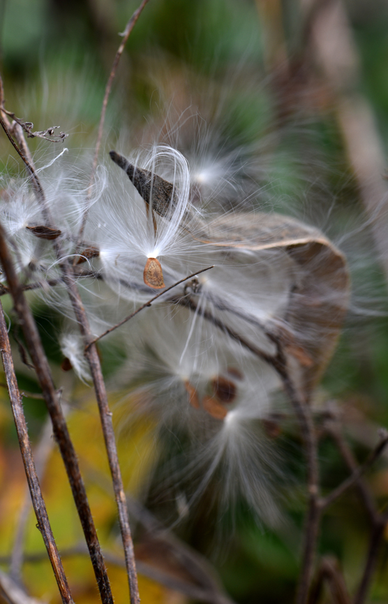 Leaving most native perennial plants in place for the winter will benefit wildlife like birds. Common milkweed seeds are of interest to some insects which will also attract birds.