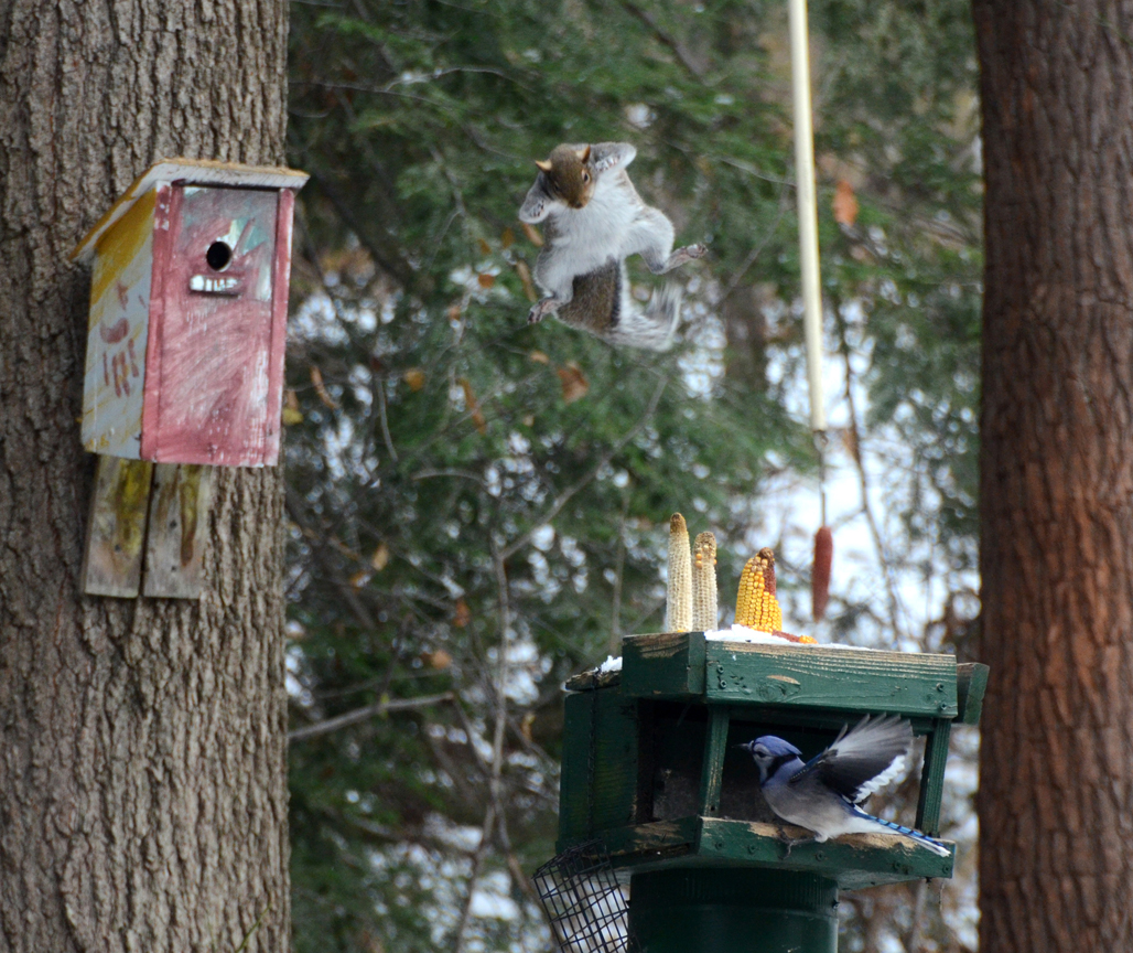 After years of battling the squirrels to keep them off the feeder, this one figured out how to launch itself from a birdhouse and land on the feeder. The distance between the two is 10 feet, six inches.