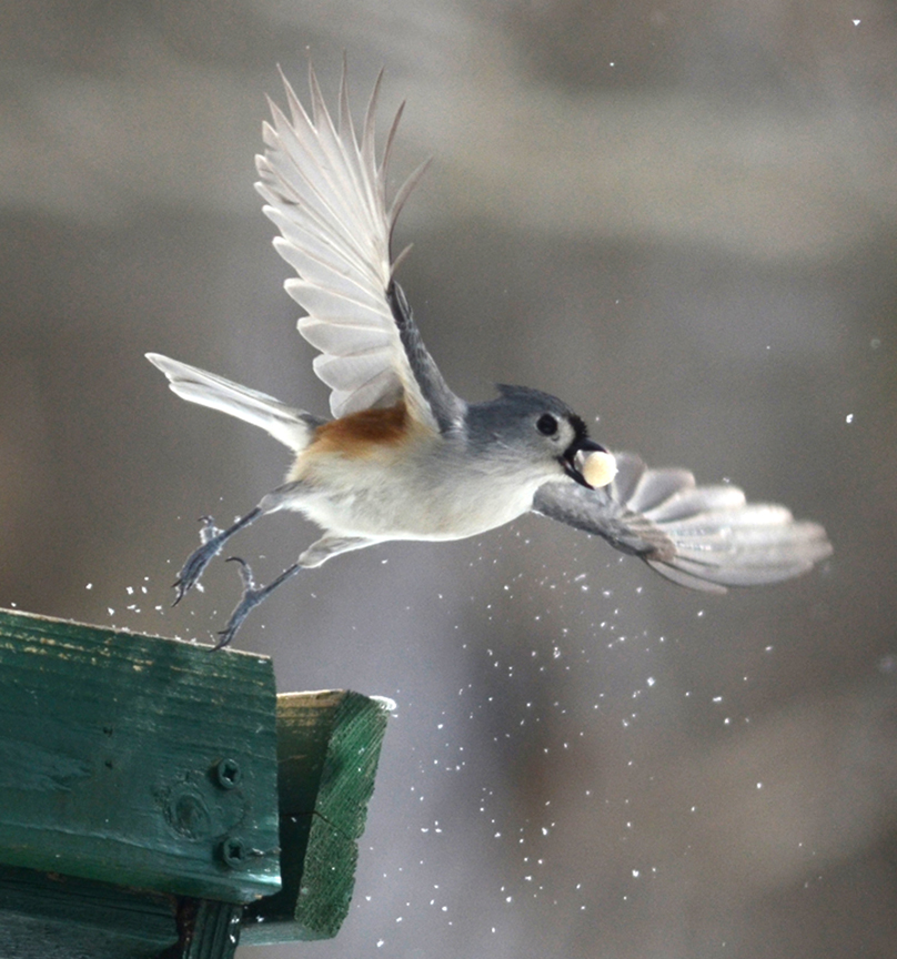 This titmouse takes off after grabbing something to eat at the bird feeder. Gardeners can benefit from attracting birds.