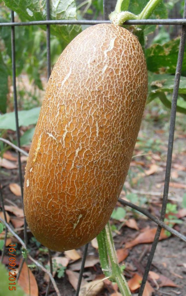 """This 'Russian Brown' cucumber is one of the """"weird"""" varieties Doug Oster will grow this season."""