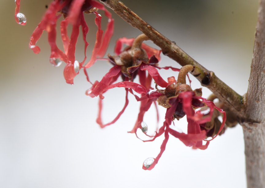 'Diane' witch hazel has pretty red flowers. Witch hazel blooms provide winter beauty.