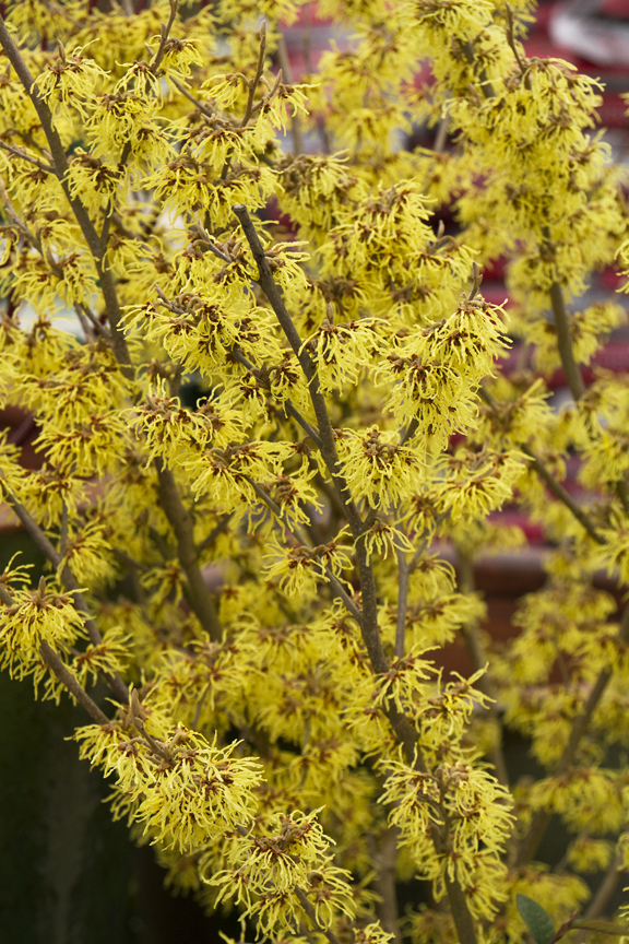 Witch hazel blooms provide winter beauty.