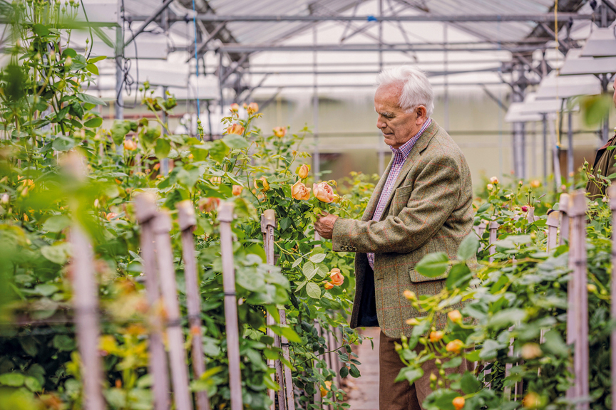 David Austin Sr. checking flowers on a prospective parent, Rosa Lady of Shalott, in the hybridising greenhouse.