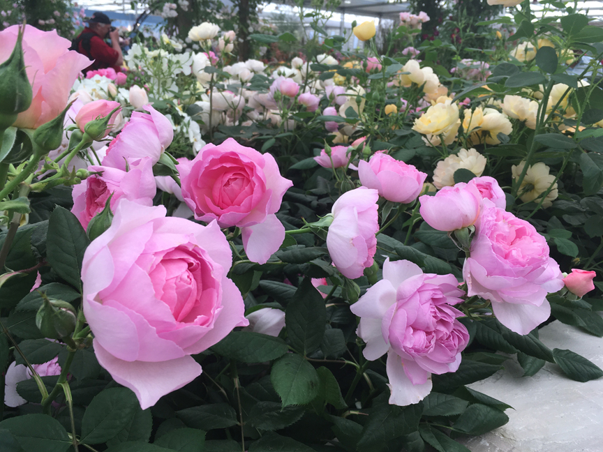 These are some of the David Austin roses on display at the Chelsea Flower Show in London in 2017.