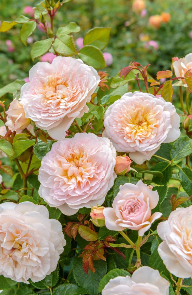 'Emily Bronte' is one of the new introductions from David Austin Roses.