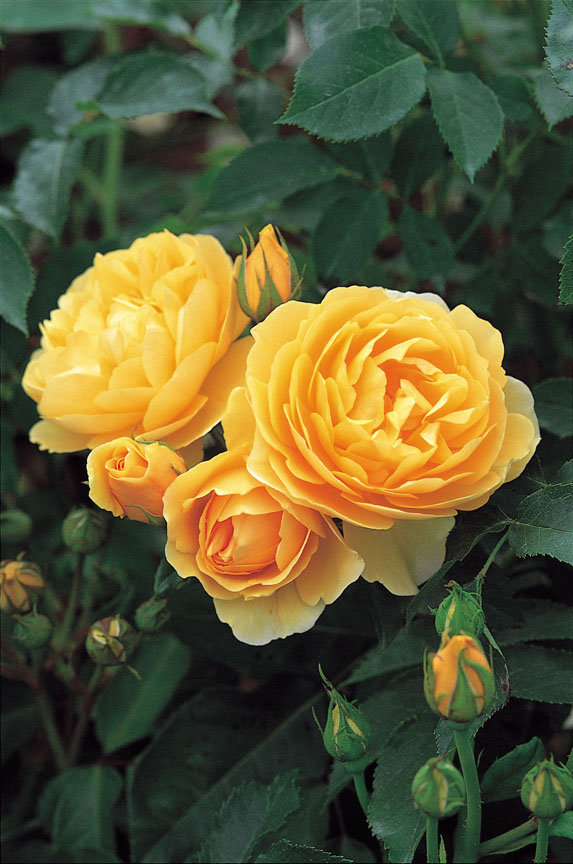 'Graham Thomas' is one of the introductions from David Austin Roses.