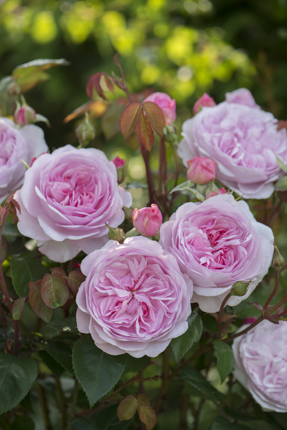'Oliva Rose Austin' is one of the introductions from David Austin Roses.