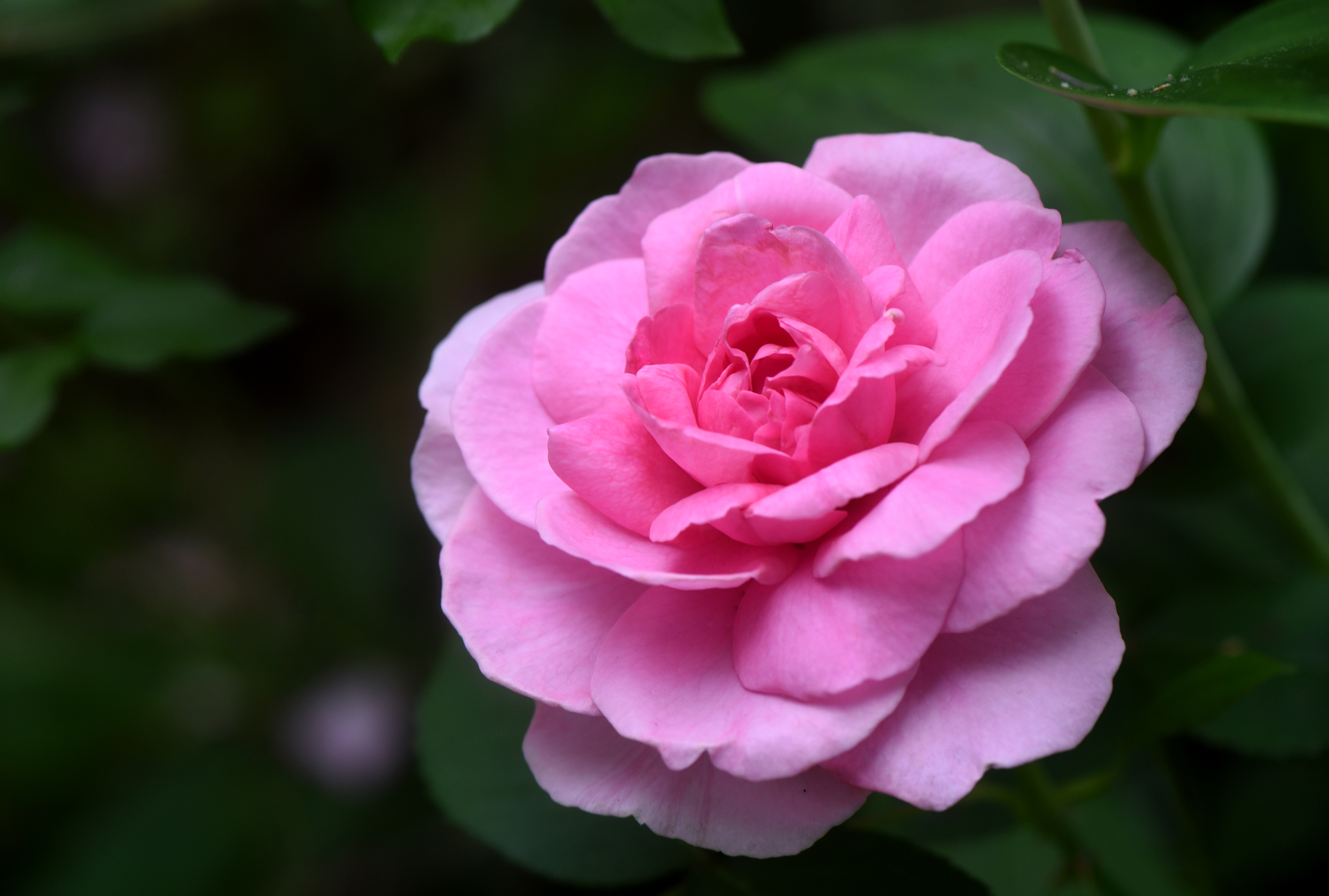 How To Grow Roses Organically Everybody Gardens