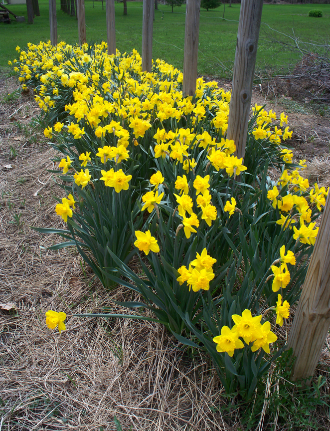 Sue Gilmore has been gardening most of her life. She's growing a wide variety of plants and wants to up her game when it comes to winter gardening. This is a row of daffodils in her garden.