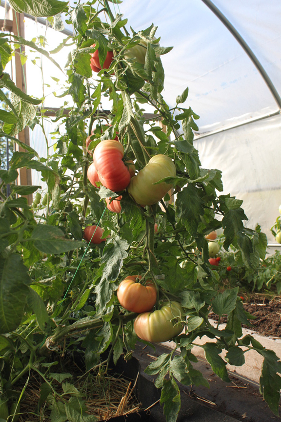 Niki Jabbour is an expert at growing plants year round even in Nova Scotia. Her poly tunnel is also used to grow nice looking tomatoes too.