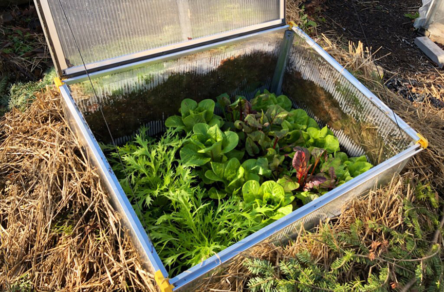 Niki Jabbour is an expert at growing plants year round even in Nova Scotia. Here's some of the vegetable varieties growing in her coldframe.