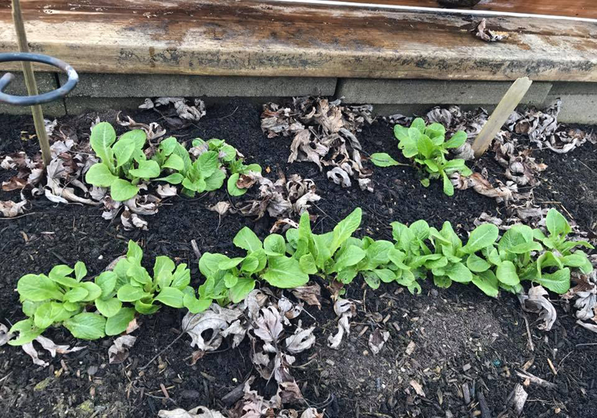 Sue Gilmore has been gardening most of her life. She's growing a wide variety of plants and wants to up her game when it comes to winter gardening. Winter lettuce grows in a mini hoop house.