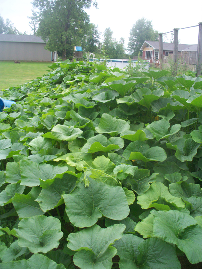Sue Gilmore has been gardening most of her life. She's growing a wide variety of plants and wants to up her game when it comes to winter gardening. These pumpkins are taking over her summer garden.