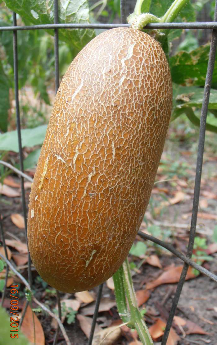 'Brown Russian' cucumber from J.L. Hudson Seedsman might be strange looking, but it's supposed to be tasty.