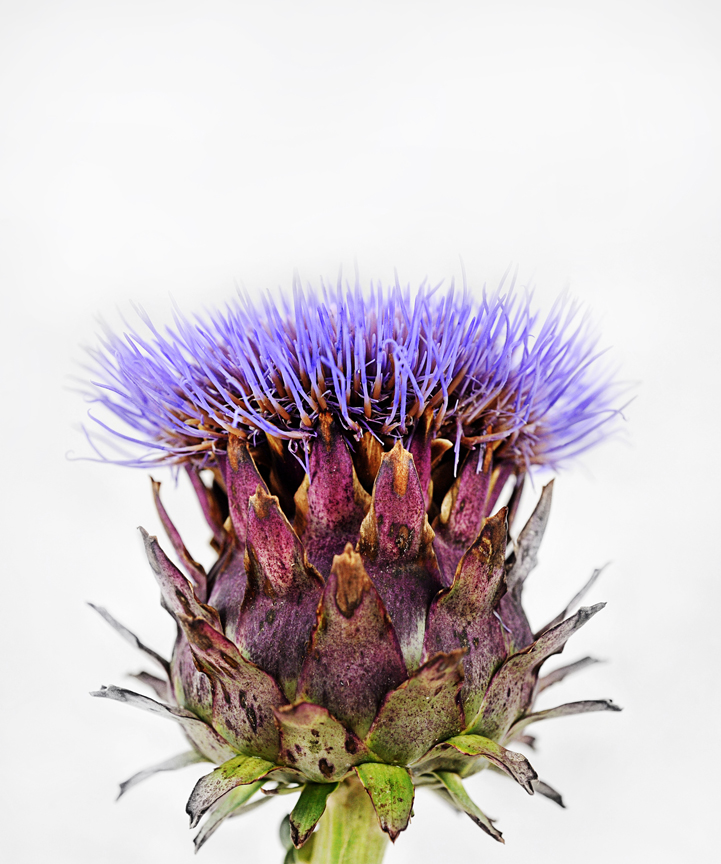 Laura Stilson, who is a photographer for Baker Creek Heirloom Seeds learned how artichokes grow while photographing this variety called 'Purple of Romagna.' The photography in the catalog is great.