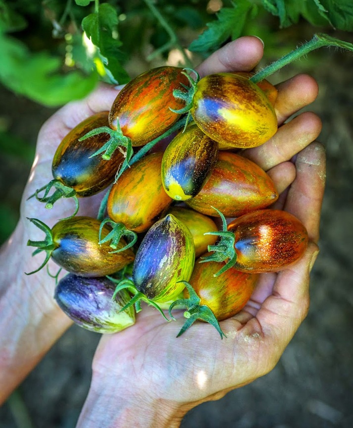 'Atomic Grape' is a wild looking tomato offered in the Baker Creek Heirloom Seeds catalog. The photography in the catalog is wonderful.