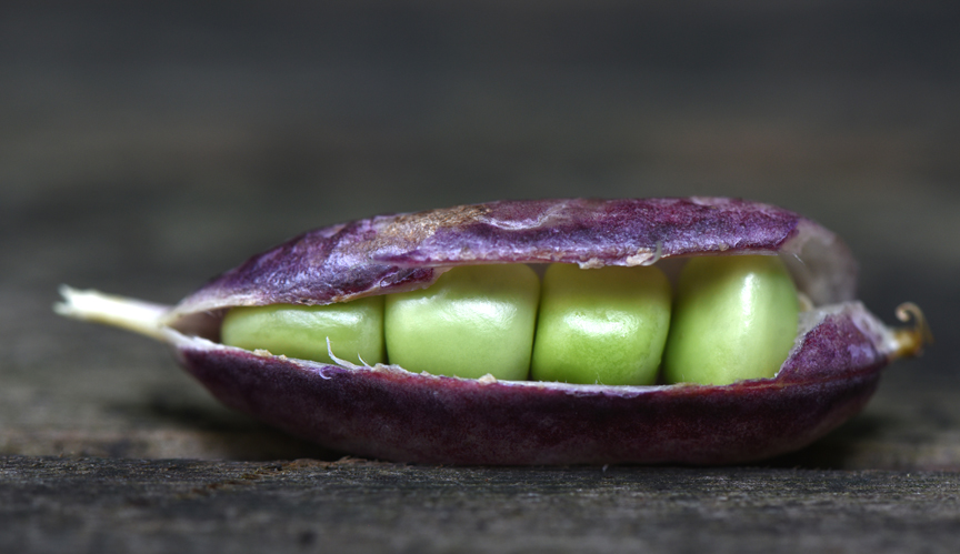 'Sugar Magnolia Purple Snap Pea' is one of the pretty and tasty vegetables offered by John Scheepers Kitchen Garden Seeds. Ordering seeds is a wonderful garden tradition.