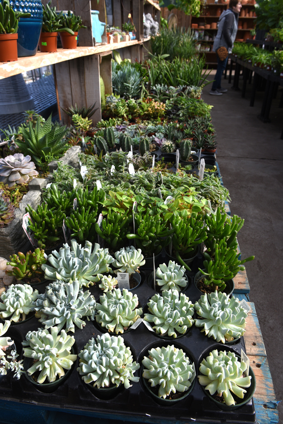 These succulents are on display at Soergel's Garden Center in Wexford. Randy Potter, a general manager at the nursery has lots of tips on how to grow succulents indoors.