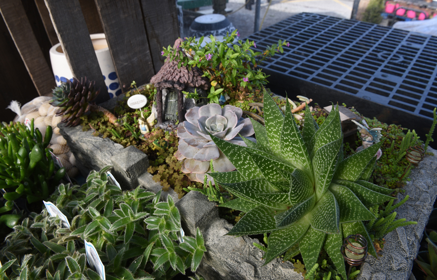 Succulents are easy to grow on the windowsill and can be mixed and matched in containers. These are on display at Soergel's Garden Center in Wexford. Randy Potter, a general manager at the nursery has lots of tips on how to grow succulents indoors.