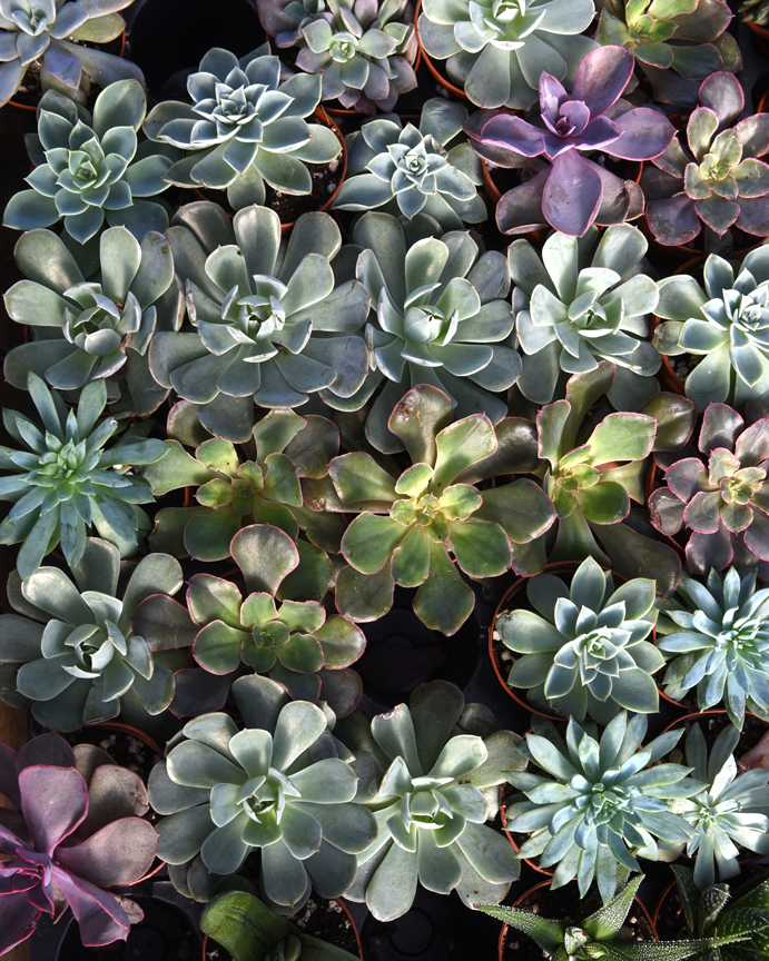 Succulents are easy to grow on the windowsill and offer interesting colors and texture to the indoor landscape. These are on display at Soergel's Garden Center in Wexford. Randy Potter, a general manager at the nursery has lots of tips on how to grow succulents indoors.