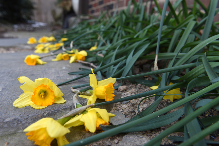 These early blooming daffodils take a beating when the weather turns cold. They were planted by a gardener before Doug Oster moved to the property. When the weather warms up, they will actually stand up again.