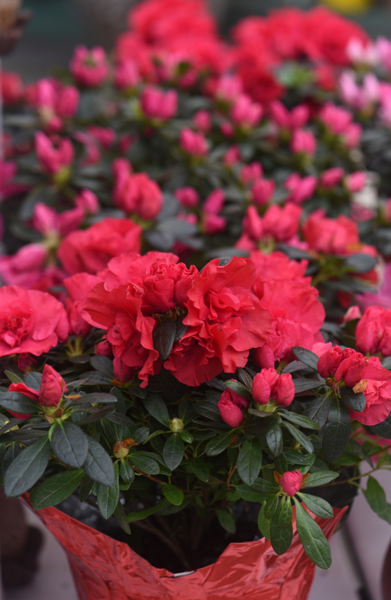 Azaleas work well as a Valentine's Day gift and will come back year after year when planted outside. This plant was found at Chapon's Greenhouse in Baldwin.