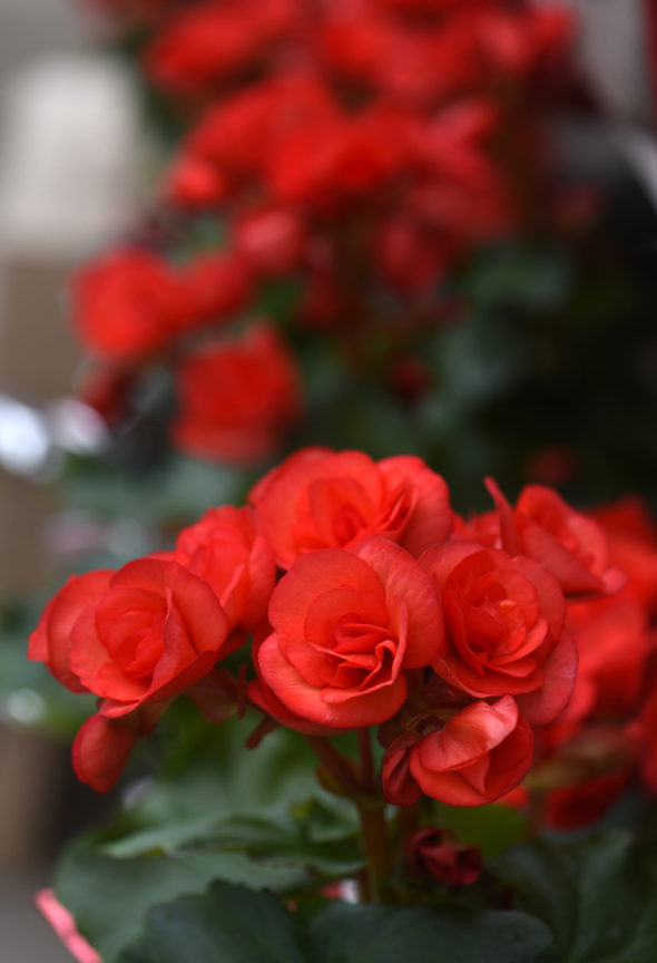 Red begonias make a nice Valentine's Day gift and can go out in the garden at the end of May. This plant was found at Chapon's Greenhouse in Baldwin.