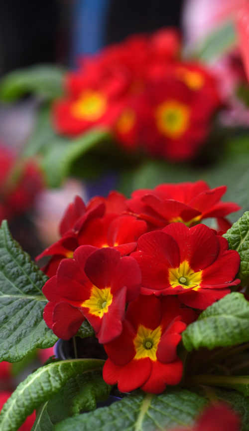 Primroses are great plants to give for Valentine's Day. This plant was found at Chapon's Greenhouse in Baldwin.