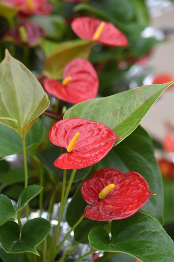 Anthurium is a houseplant that works well as a long-lived Valentine's Day gift with pretty heart shaped spathes. This plant was found at Chapon's Greenhouse in Baldwin.
