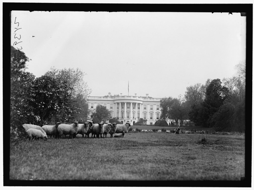 Under president Woodrow Wilson, twenty Hampshire sheep subbed in for the lawn-mowers who were off at war. Photo: Courtesy of Library of Congress