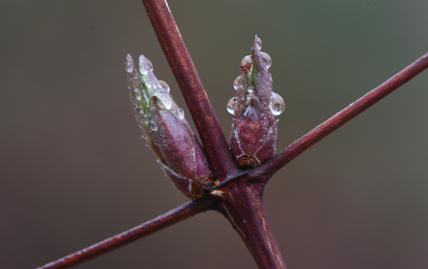 Reddish brown clematis vines hold swelling buds ready to bloom. Crocus flowers care covered in raindrops. The garden offers sanctuary amid fears and uncertainty during the COVID-19 virus pandemic.