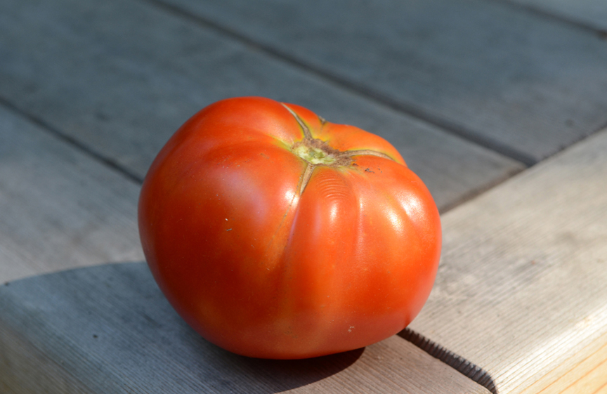 This 'Early Girl' tomato was the first one picked out of the garden last year in June.