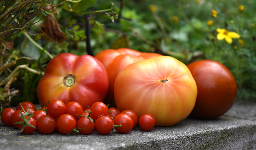 Tomatoes are the backbone to every vegetable garden. By growing lots of different varieites, gardeners can ward off diseases and harvest throughout the summer.