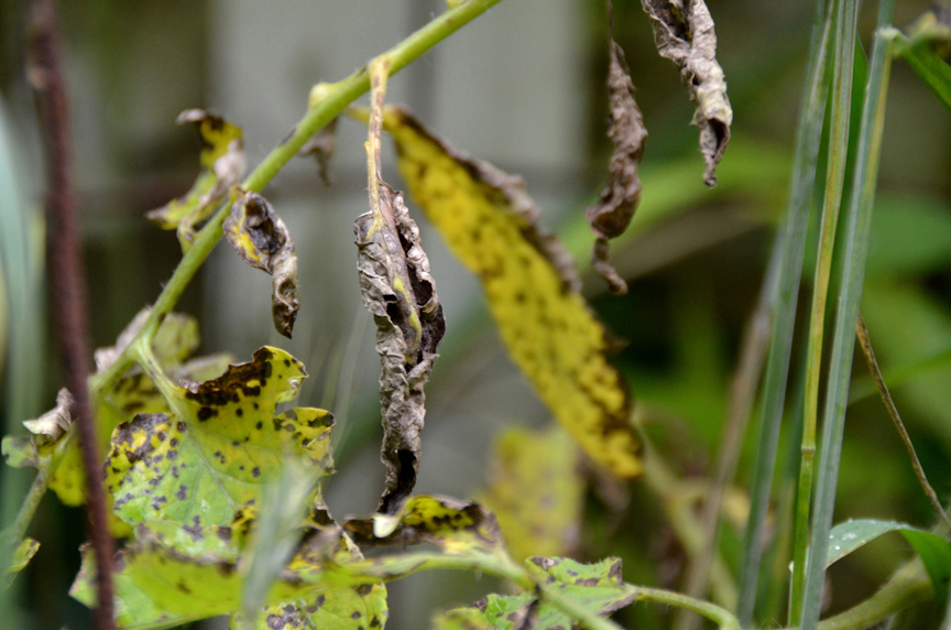 Septoria leaf spot is a common tomato problem. Using a technique called succession planting can stop the fungal problems in tomatoes.