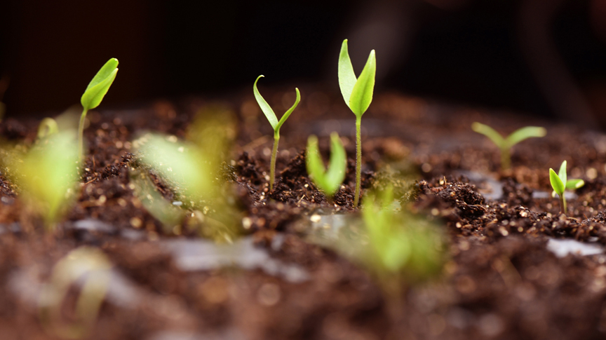 Once tomato seedlings sprout, they need plenty of light to keep them growing strong. Getting an early variety started indoors means harvesting early too.