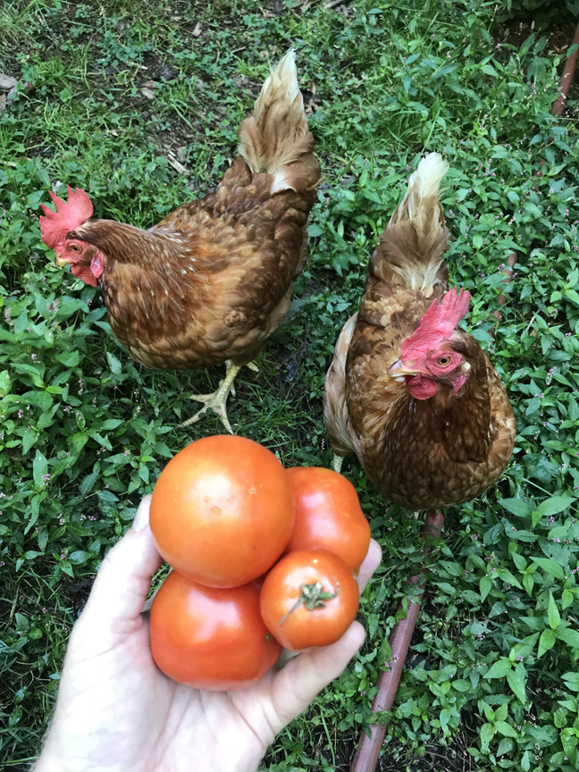 My garden helpers are always on the lookout for the first tomatoes of the season.