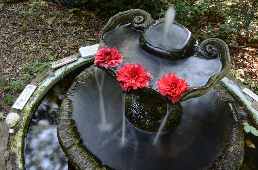 These dahlias are floating in a fountain in my garden. This is a long exposure, used to blur the moving water.