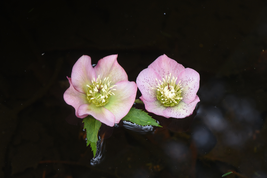 Floating flowers is perfect for hellebores, which look down in the garden.